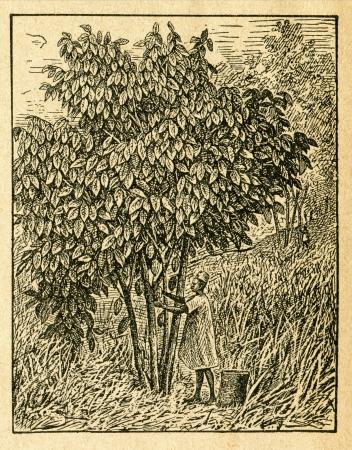 Cacao tree with fruits - old illustration by unknown artist from Botanika Szkolna na Klasy Nizsze, author Jozef Rostafinski, published by W.L. Anczyc, Krakow and Warsaw, 1911