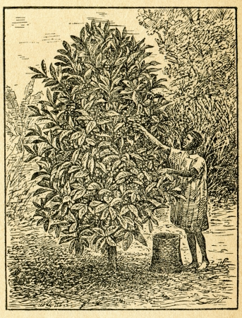 Harvesting coffee beans - old illustration by unknown artist from Botanika Szkolna na Klasy Nizsze, author Jozef Rostafinski, published by W.L. Anczyc, Krakow and Warsaw, 1911