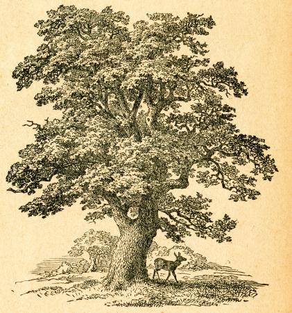 Oak tree - old illustration by unknown artist from Botanika Szkolna na Klasy Nizsze, author Jozef Rostafinski, published by W.L. Anczyc, Krakow and Warsaw, 1911