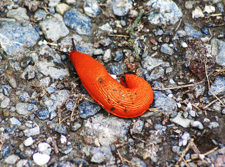 red worm