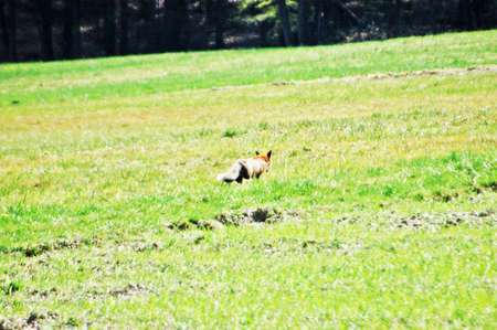 Fox at meadow