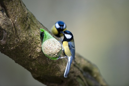 A Great Tit Feeding On A Suet Fatball (Please note the ringed leg)