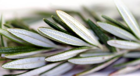 Fresh green herb rosemary on white background.