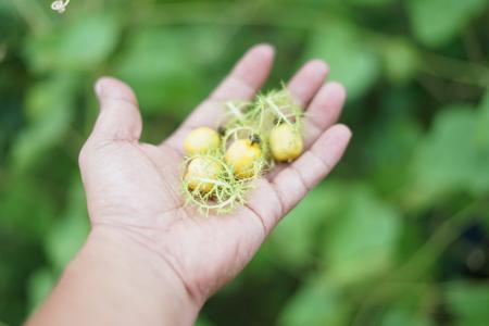 Foto für Wild Water Lemon or Passiflora foetida, Fresh Asian fruit - Lizenzfreies Bild