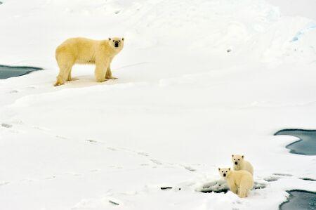 Foto de Polar bear with babies in nature environment near north pole. Mum is learning their children to hunt - Imagen libre de derechos