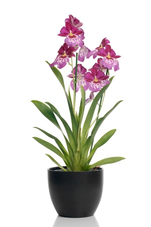 Pink orchid in a pot on white background with shadow reflection.
