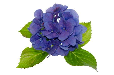 Top view of Lacecap Hydrangea isolated on white background.