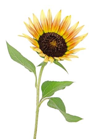 Beautiful Sunflower isolated on white background.