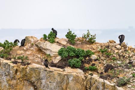 European Shags (Phalacrocorax aristotelis) on the coastline in Peniche, Portugal.