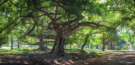 Ficus benjamina with long branches in botanical Garden of Peradeniya, Kandy, Royal Botanical Gardens