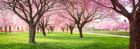 Photo pour Panorama of Cherry blossom trees Alley in garden on a fresh green lawn at sunset - image libre de droit