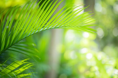 Photo pour Leaves of palm tree in summer under sunlight. Tropical green leaf background. - image libre de droit