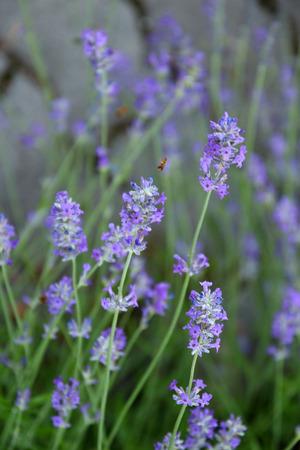 beautifully flowering lavender
