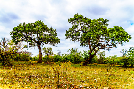 Photo pour Two tall Mopane Trees near Letaba camp in Kruger National Park in South Africa - image libre de droit