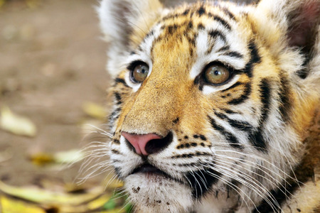 Foto de Close up of a cute tiger cub in the forest. Concept: love for animals, nature, protection - Imagen libre de derechos