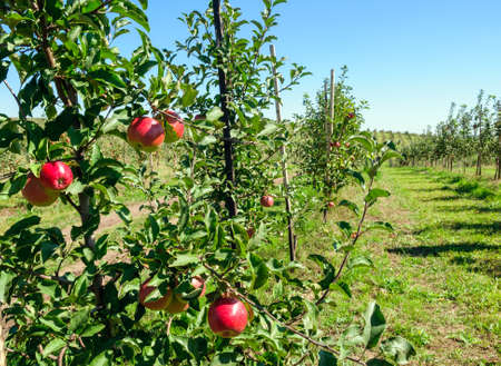 Photo for Young trees sapling with red apples in an orchard - Royalty Free Image