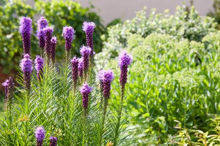 Dense Blazing Star plants in a flower garden
