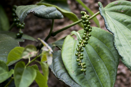 Unripe drupes of Black Pepper, Green Pepper plantation in coorg, Karnataka, India