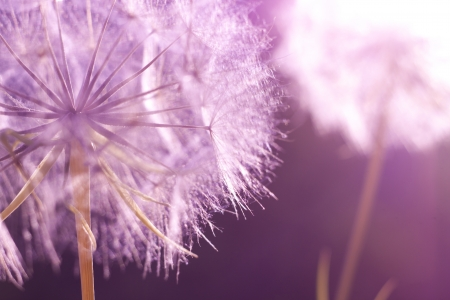 Foto de Flower Dandelion at sunset. Close-up - Imagen libre de derechos