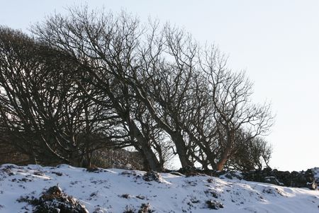 Snowy, Windswept Trees on hill