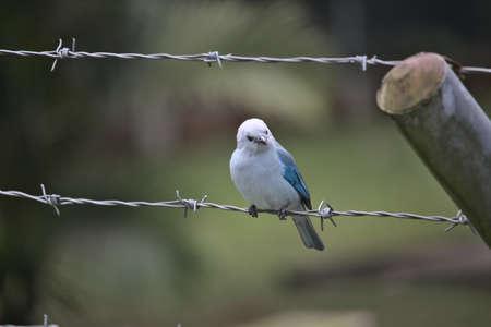 Photo pour tanager blue bird perched in a wire - image libre de droit