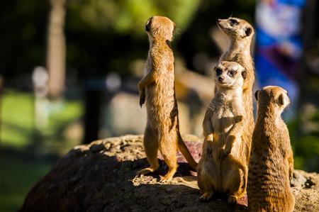 Suricate or meerkat (Suricata suricatta) family Earth males looking for enemies look in all directions ErdmÀnnchen