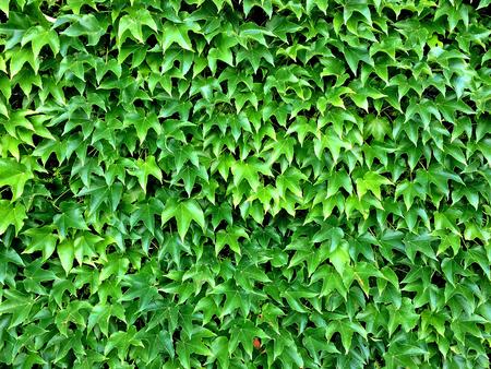 wild vines leaves in summer