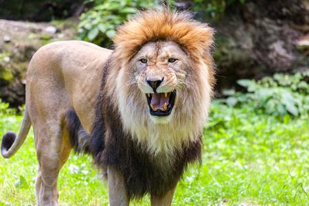 standing lion roars