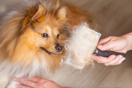 Photo pour grooming with a dog brush on a shetland sheepdog - image libre de droit