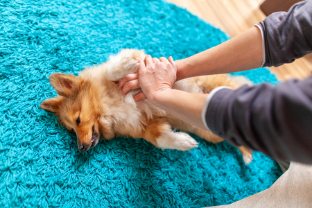 Photo for First aid reanimation on a small shetland sheepdog - Royalty Free Image