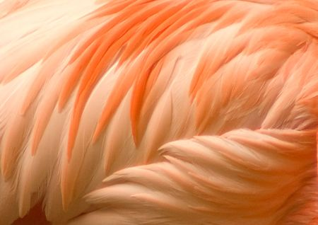 Detail of the orange and pink plumage of a flamingo