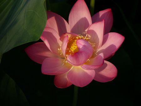 tender and beautiful  lotus