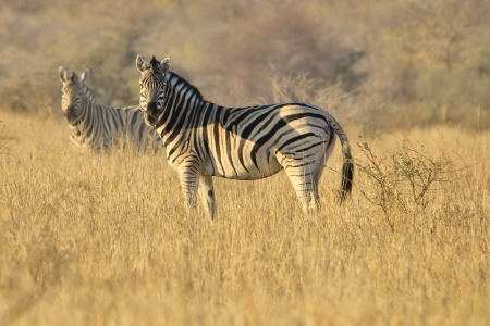 Two Zebras Mural Wallpaper
