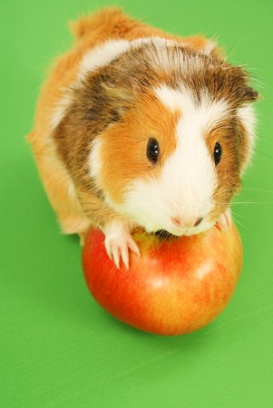 Guinea pig and red apple on green backgroundの写真素材