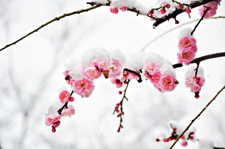 Pink Plum Flower under Snow with white background