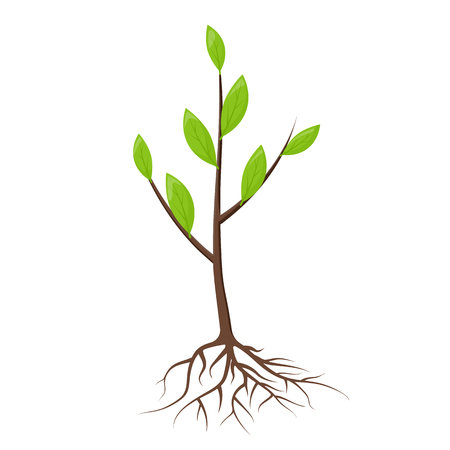 Illustration pour Tree with roots and leaves isolated. Young tree, sapling ready for planting. Planting of greenery concept. Gardening, agriculture. New plantings. Vector illustration on white background flat design. - image libre de droit