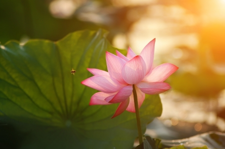 lotus flower blossom in the sunrise