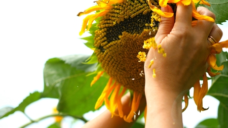 Photo pour a hand touches the face of a sunflower in the sun - image libre de droit
