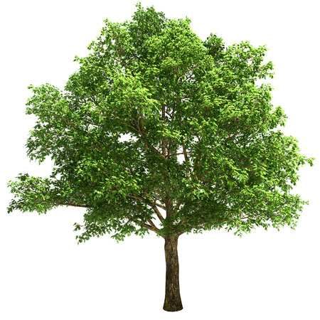 Big oak tree isolated on white.