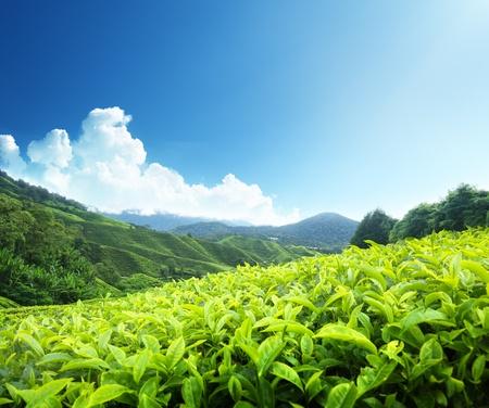 Tea plantation Cameron highlands, Malaysia