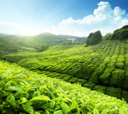 Photo pour Tea plantation Cameron highlands, Malaysia - image libre de droit