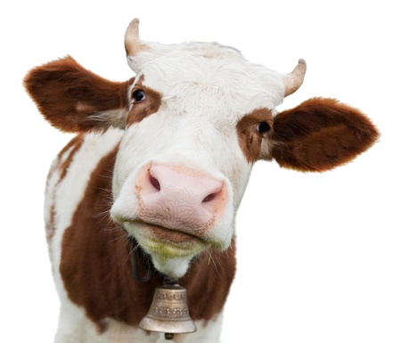 Photo pour young cow isolated on white - image libre de droit