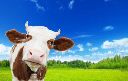 cow and field of fresh grass