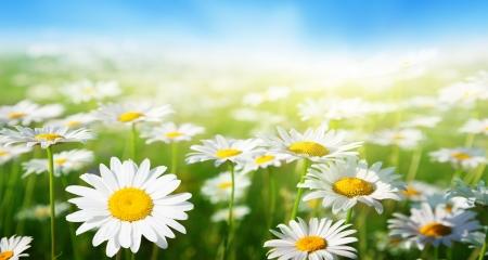 Foto de field of daisy flowers - Imagen libre de derechos