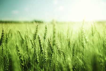 Photo for green wheat field and sunny day - Royalty Free Image