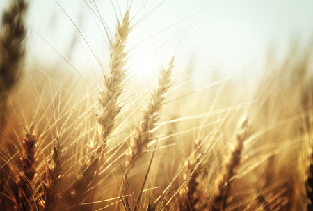 Photo pour golden wheat field and sunny day - image libre de droit