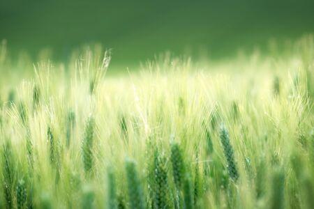 Photo pour barley field in sunset time - image libre de droit