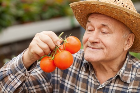 Skilled senior man is holding a bunch of tomato. He is looking at the healthy food with joy and smiling. The man is standing in a straw hat