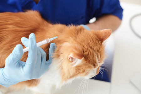 Close up of arms of skillful veterinarian making injection to the cat. He is holding a syringe near its head