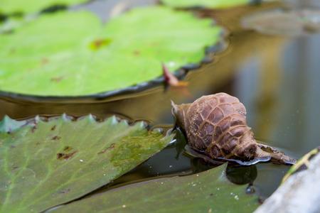Lotus leaf look like snail